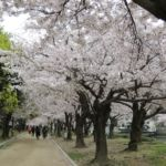 Kirschblüte in Hiroshima