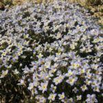 Steinbrech im botanischen Garten